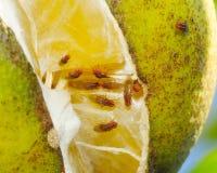 De vliegen van de azijn - indianus Zaprionus Royalty-vrije Stock Foto's