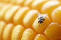 De vliegen of de vlieg eten graan stock fotografie