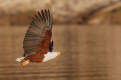 De vliegende Afrikaanse Adelaar van Vissen over water Stock Afbeelding