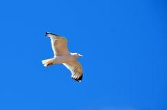 De vliegende foto van de zeemeeuwvogel Stock Foto's
