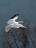 De vliegende Gans van de Sneeuw Royalty-vrije Stock Foto