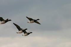 De vliegende ganzen van zwarte gans Stock Fotografie