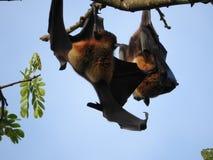 De vliegende honden in Sri Lanka zitten in de bomen stock foto