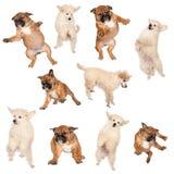 De vliegende puppy van de Bokser en van de Poedel Royalty-vrije Stock Afbeeldingen