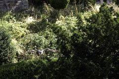 De vliegende verreaux Eagle-uil van ` s/Bubo-lacteus stock afbeelding