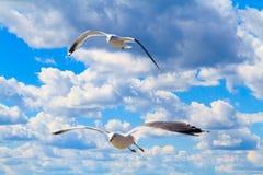 De vliegende zeemeeuwen Stock Foto's