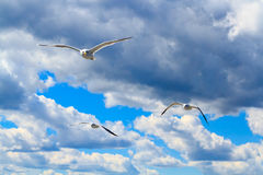 De vliegende zeemeeuwen Royalty-vrije Stock Foto's