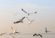 De vliegende zeemeeuwen eten voedsel in de ochtend Royalty-vrije Stock Fotografie