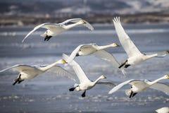 De vliegende Zwaan en het ijzige meer royalty-vrije stock fotografie