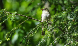 De Vliegenvanger van Acadia Empidonax virescens Royalty-vrije Stock Fotografie