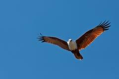 De Vlieger van Brahminy Royalty-vrije Stock Afbeelding