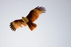 De Vlieger van Brahminy Royalty-vrije Stock Fotografie