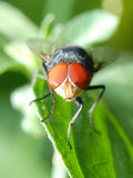 De vliegmacro van het insect royalty-vrije stock foto's