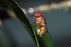 De vliegmacro van het insect Stock Fotografie