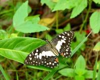 De vlinder Stock Afbeeldingen