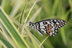 De vlinder Royalty-vrije Stock Fotografie