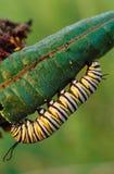 De Vlinder Caterpillar van de monarch royalty-vrije stock foto