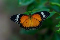 De vlinder die het is vleugels het rusten openen royalty-vrije stock afbeeldingen