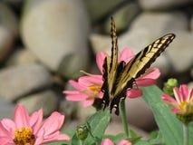 De vlinder die van de monarch van een bloem in de tuin geniet Royalty-vrije Stock Afbeeldingen