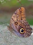 De Vlinder die van de uil zich op de droge installaties bevinden Stock Fotografie
