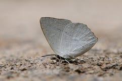 De vlinder is drinkwater stock fotografie