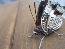 De vlinder een nacht Stock Foto's