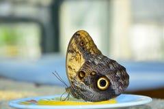 De Vlinder eet stuk van citroen stock afbeeldingen