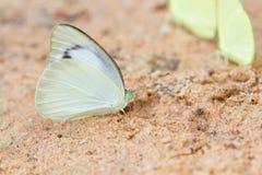 De vlinder eet zoute lik stock afbeelding