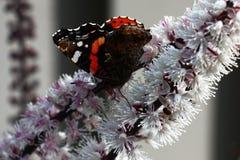 De vlinder en cimicifuga Royalty-vrije Stock Afbeelding