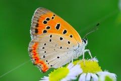 De vlinder en de bloem Stock Afbeelding