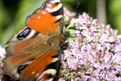 De vlinder en de bloem van de pauw Stock Afbeeldingen