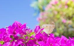 De vlinder en de bloemen, de bougainvillea van de Vlindertuin flowe Royalty-vrije Stock Fotografie