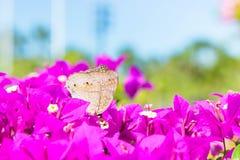De vlinder en de bloemen, de bougainvillea van de Vlindertuin flowe Royalty-vrije Stock Foto's