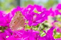 De vlinder en de bloemen, de bougainvillea van de Vlindertuin flowe Stock Afbeelding