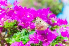 De vlinder en de bloemen, de bougainvillea van de Vlindertuin flowe Stock Fotografie