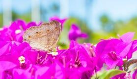 De vlinder en de bloemen, de bougainvillea van de Vlindertuin flowe Royalty-vrije Stock Afbeelding