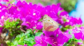 De vlinder en de bloemen, de bougainvillea van de Vlindertuin flowe Royalty-vrije Stock Foto