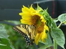 De vlinder en de zonnebloem helpen elkaar Royalty-vrije Stock Fotografie