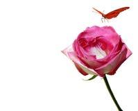 De vlinder en Roze nam toe Royalty-vrije Stock Foto's