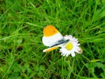 de vlinder gaat madeliefje Stock Foto's