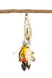 De vlinder is geboren Royalty-vrije Stock Foto's