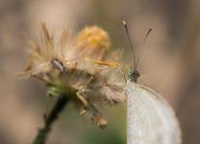De vlinder hangt op bloem Royalty-vrije Stock Fotografie