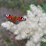 De vlinder heldere kleuring. Stock Foto