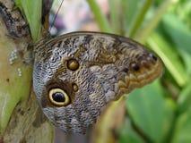 De vlinder legt de boom van de eierenbanaan Stock Foto's