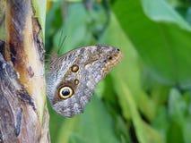 De vlinder legt de boom van de eierenbanaan Royalty-vrije Stock Afbeelding