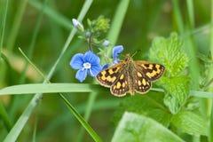 De vlinder op blauwe bloem Stock Foto's