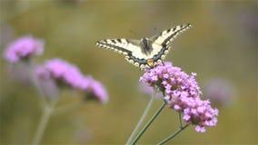 De vlinder op de bloemen van Ijzerkruidbonariensis, sluit omhoog stock footage