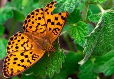 De vlinder op een blad stock fotografie
