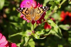 De vlinder op een bloem Royalty-vrije Stock Afbeelding