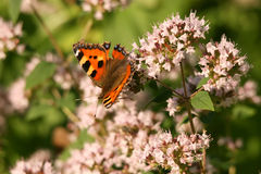 De vlinder op een bloem Stock Afbeelding